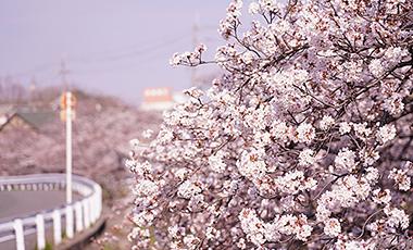 日向ハウス 近所の桜がキレイです。