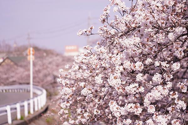 日向ハウス前の川沿いの桜
