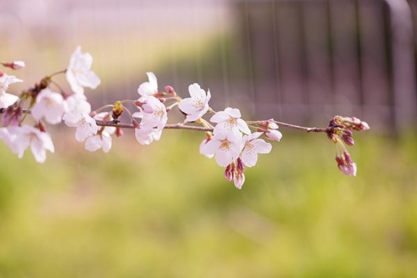 日向ハウス横の公園の桜